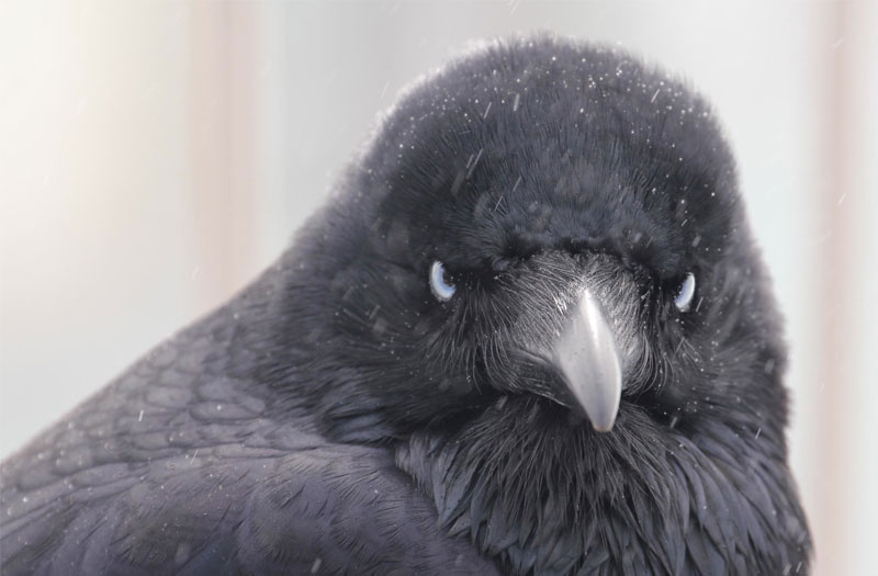 A murderous looking raven, who no doubt has a story to tell, glaring right at you.