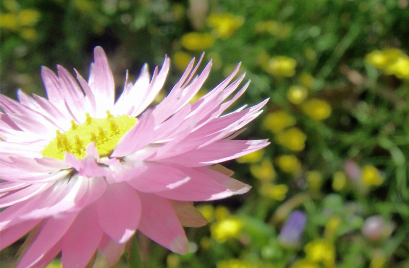 Pretty pink paper daisy