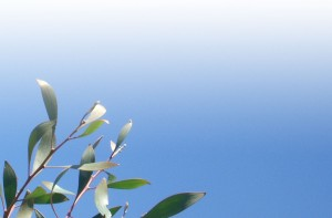 Hakea leaves against a clear blue sky