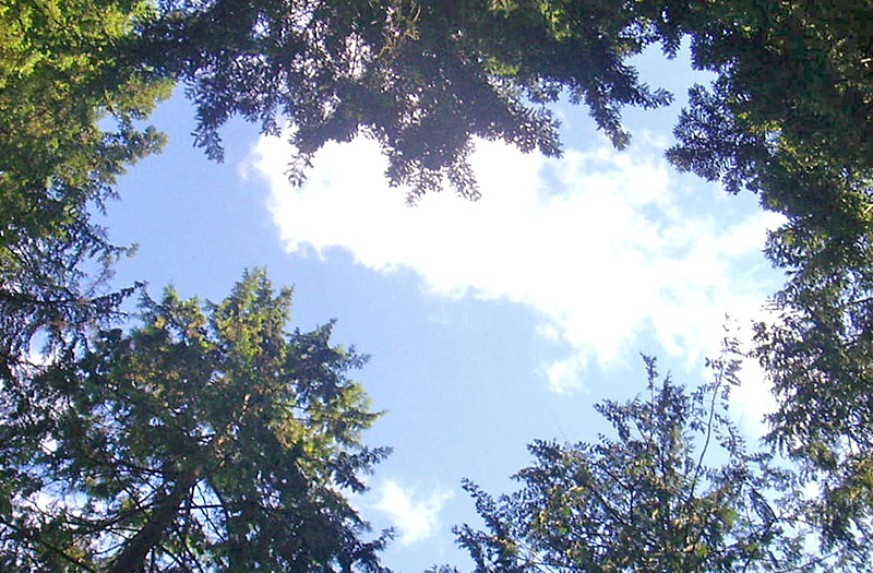 View of the sky, looking up through the trees.