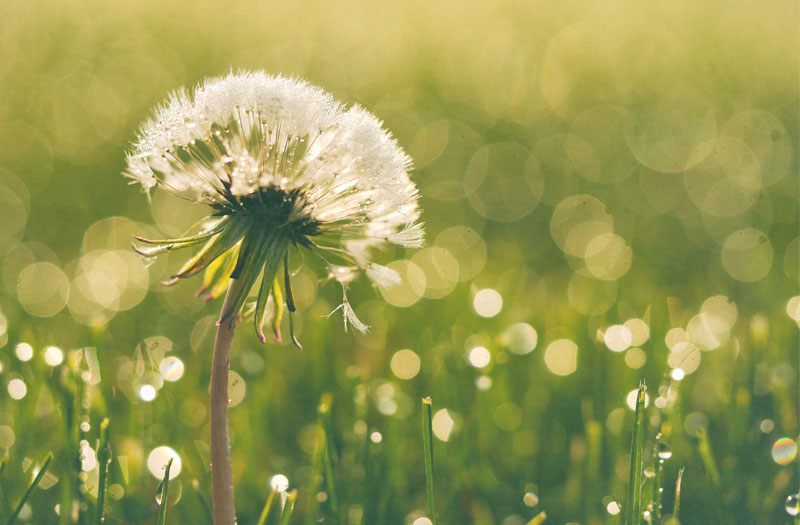 A single dandelion against a sparkling green background
