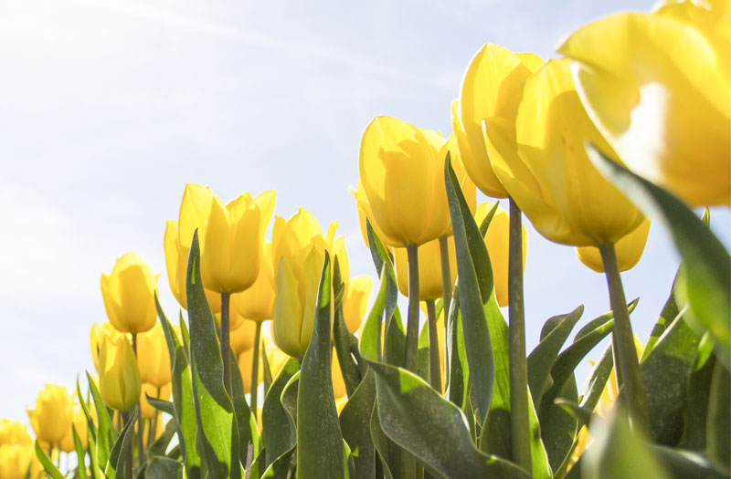 Brilliant yellow tulips in sunshine