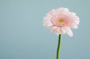 Pink gerbera against blue wall